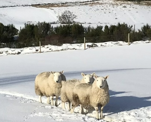 Holiday Cottage Visitors - sheep